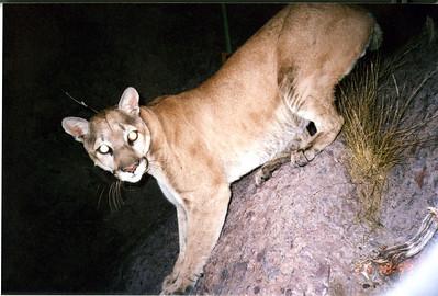 kofa lion, alive