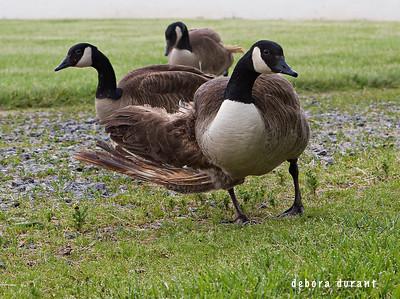 geese at poplar spring