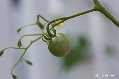 cherry tomato on the plant