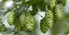 Hops (auer-bier dot de)
