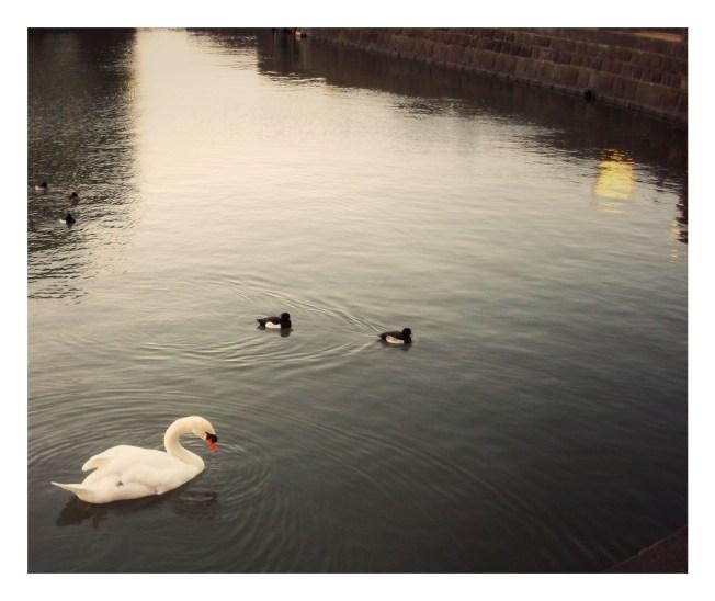 Swan and Ducklings