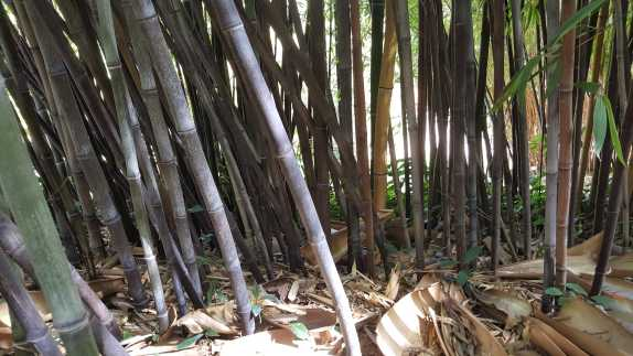 Image of the Bamboo .jpg