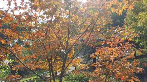 Image of the Momiji Leaves.jpg