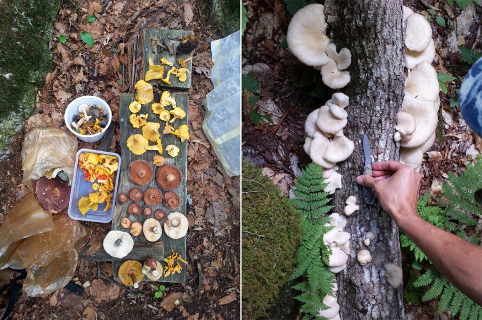 left: A day's haul including black trumpets, chaga, chanterelles, milk-caps, and various boletes. right: Oyster mushrooms.