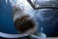 shark diving - tumblr_lvctxgweku1qdfazlo1_500