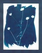 cyanotypes fleurs - 07