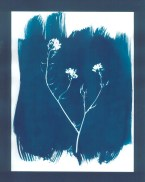 cyanotypes fleurs - 22