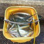湾奥サヨリ、最近の釣況