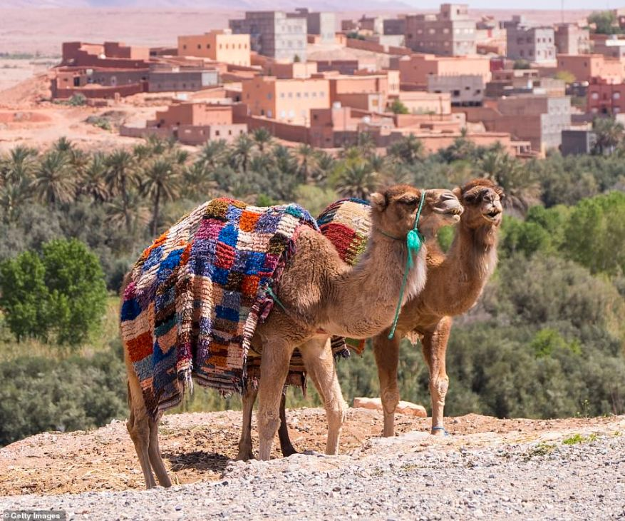 Mask-wearing is obligatory in all public places including parks and while walking on streets in Morocco. Pictured are two camels near Marrakesh