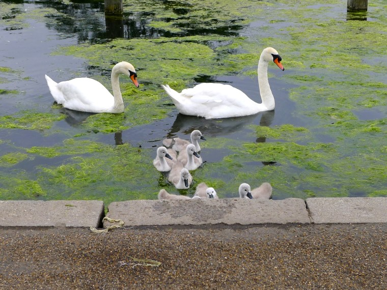 Swans in Hyde Park, London, 2012