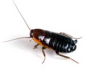 cucarachas asiaticas