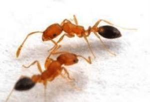 hormigas faraonicas
