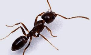 Fumigar molestas hormigas