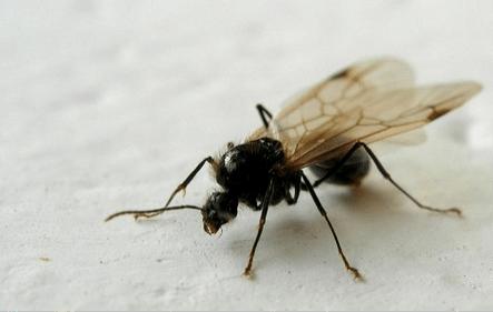 hormigas aladas