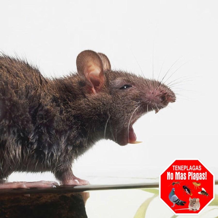 ratas o ratones en casa