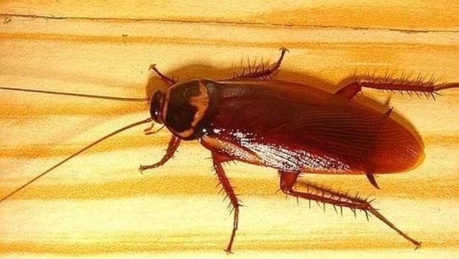 nueva especie de cucaracha en gran canaria