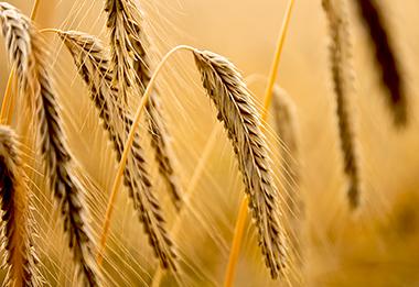El granito de trigo