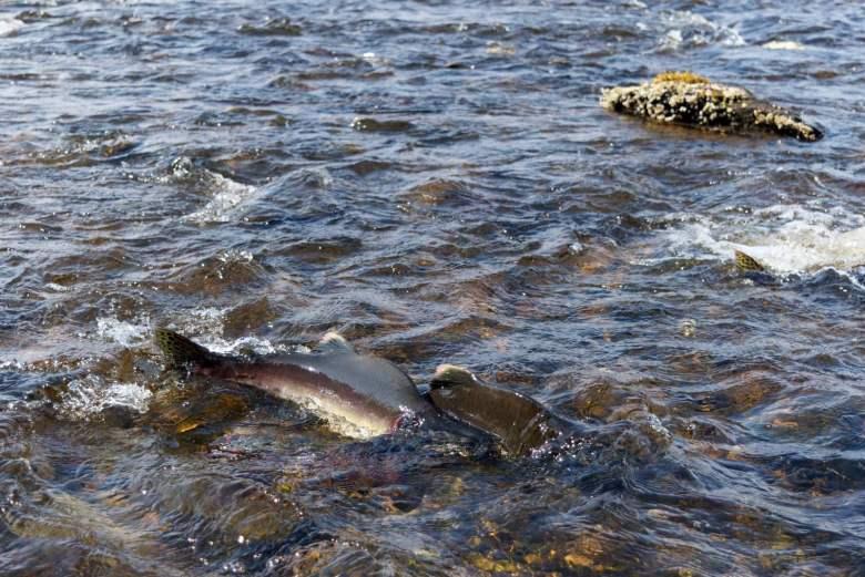 Brad Trumbo - Fixed on Pink Salmon - Salmon Upstream