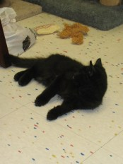 Turbo - Black Domestic Long Hair4 Month Old Male Kitten
