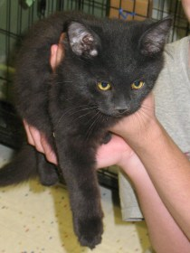 Turbo - Black 4 Month Old Domestic Long Hair Kitten