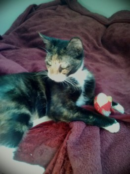 Janine - 2 Year Old Calico Cat