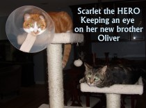 Scarlet put herself between an attacking cat & her new brother Oliver!