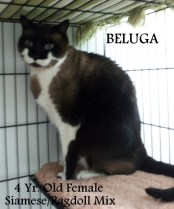 Beluga (Blue) - Age 4, Siamese Mix. ADOPTED 10/3/13