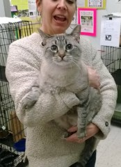Beautiful Betty Lou! 6 years young & a gorgeous Siamese/Silver Tabby mix!