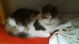 Crystal 3 Yr. Old Diluted Calico - Stunning! ADOPTED 2/22/14