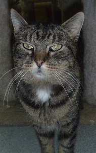 Mama- Petite 5-year-old female brown tabby.