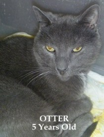 Otter - 5-year-old gray male. He's a low key boy who would do best in a quiet and loving home.