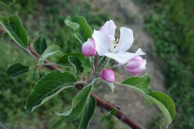 りんごの花 果樹園にて (2)