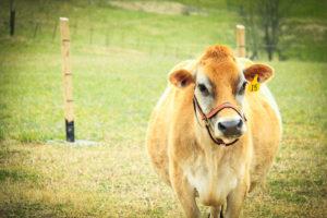 covenant farm-cow