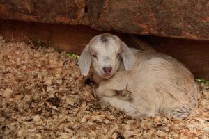 covenant farm-lamb