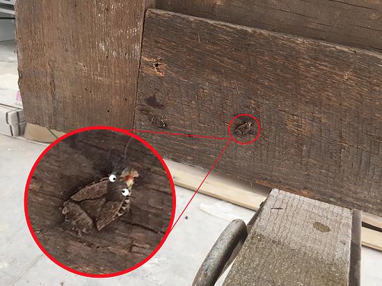 Barn wood bugs