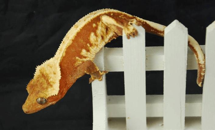 red and cream pinstripe harlequin breeder female crested gecko