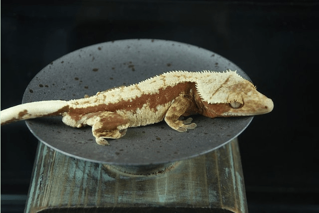 Kamikaze red and cream pinstripe extreme harlequin breeder male of excellent quality and lineage