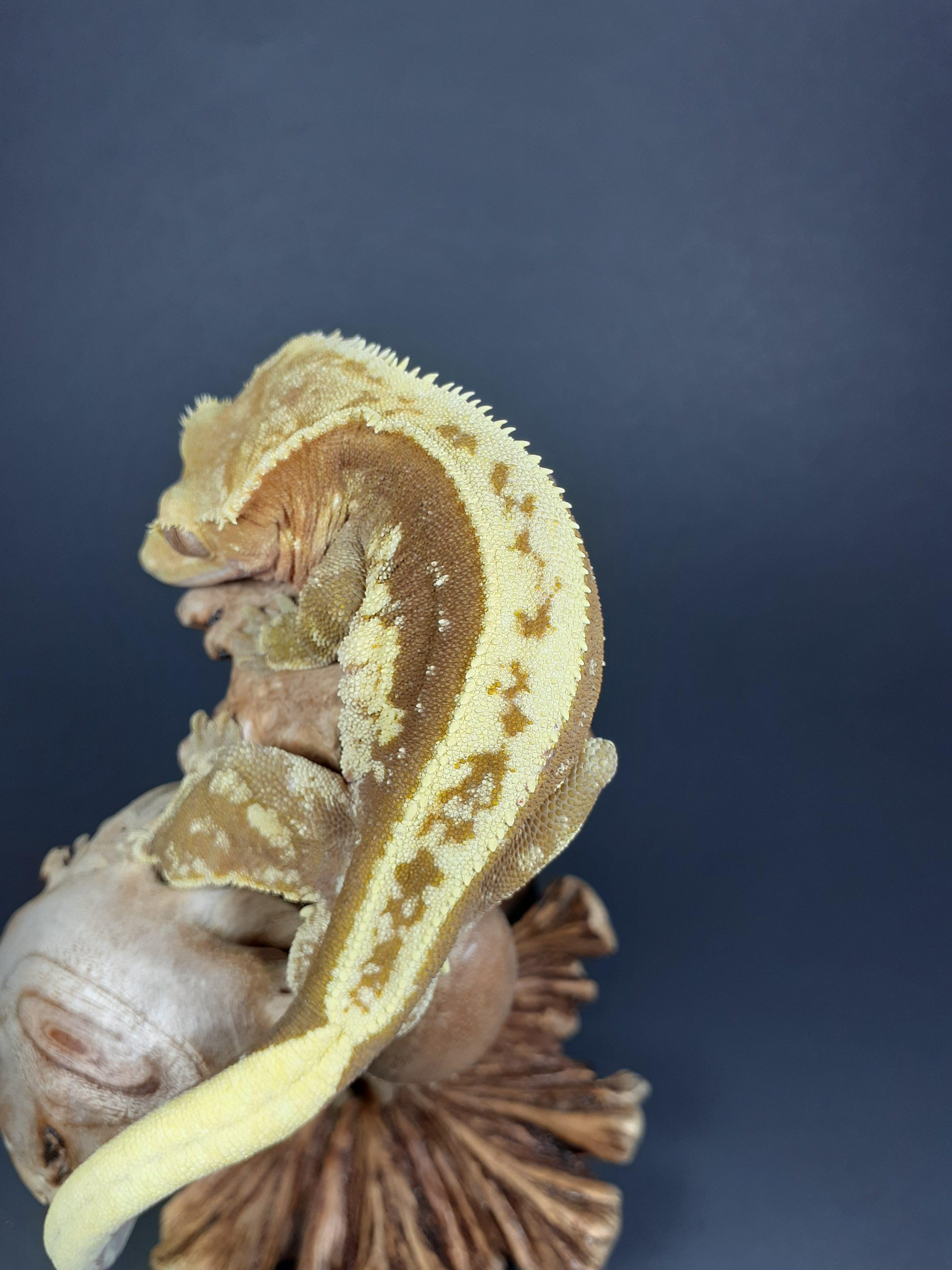 pinstripe crested gecko