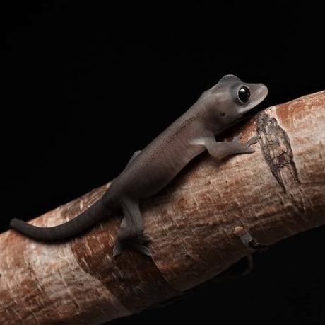 RCK Melanistic Crested Gecko