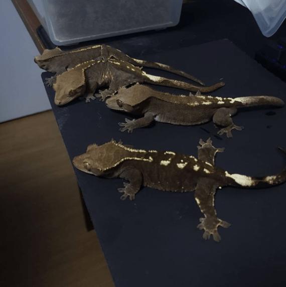 RCK Cappuccino Crested Geckos