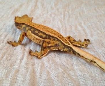 Pinstripes Crested Gecko Morphs