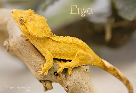 yellow bicolor or patternless crested gecko