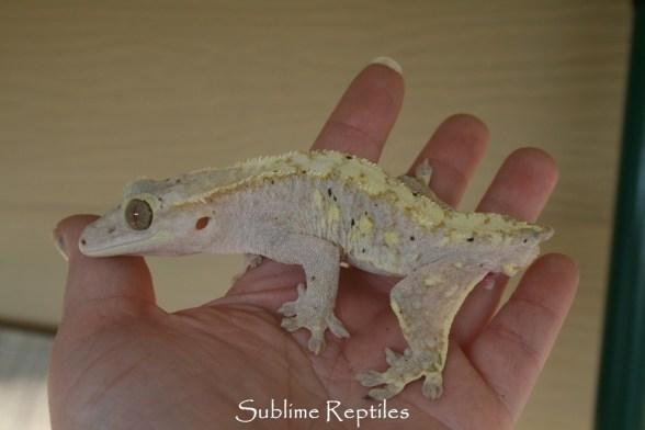 Kneecaps Crested Gecko Morphs