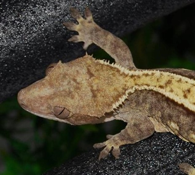 bad crested gecko head structure