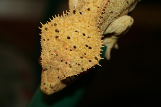 good crested gecko head structure