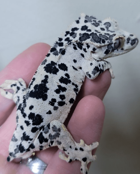 super dalmatian crested gecko inkspot from altitude exotics
