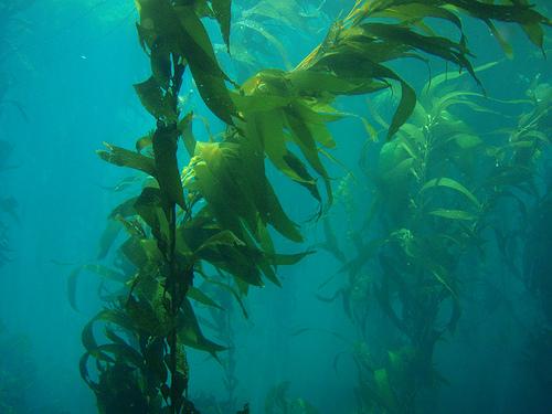 Giant Kelp - Ten Random Facts
