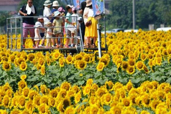 3-Surga Taman Bunga Matahari Akeno Himawari Batake