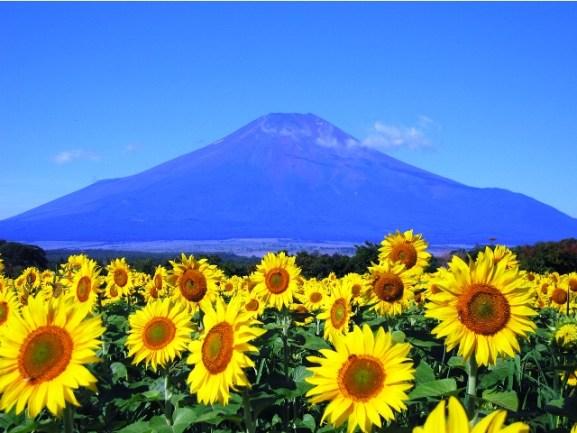 4-Surga Taman Bunga Matahari Akeno Himawari Batake
