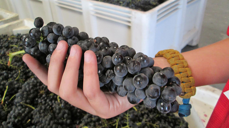 holding_tensley_grapes